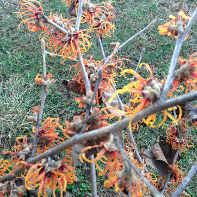 Witchhazel copy